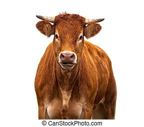 zabawny, krowa, Na, biały,