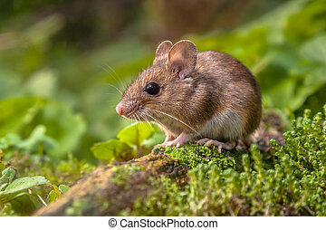 Wood mouse in natural habitat - Wild Wood mouse resting on a...