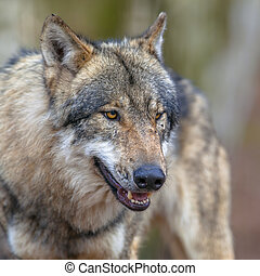 Portrait of a Threathening Grey Wolf - Dangerous Eurasian...
