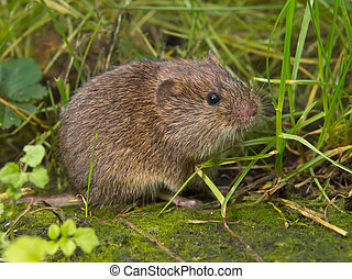 Vield vole Microtus agrestis is looking in camera