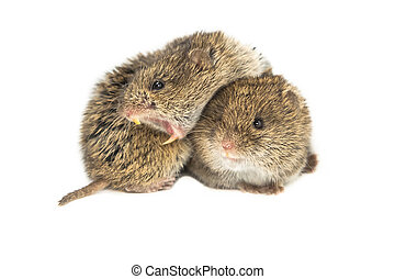 Two common Vole - Two family members of Common Vole Microtus...