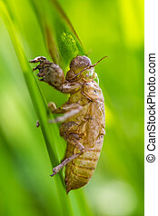 cicada shell which leave on the tree,insect from Thailand