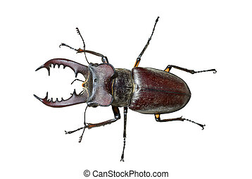 Male of Stag-beetle 3