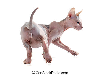 back of Sphynx Hairless Cat - Sphynx Hairless Cat in front...
