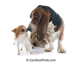 basset hound and chihuahua in front of white background
