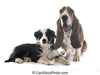 basset hound and border collie - basset hound and puppy...