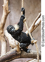 Young Western lowland gorilla playing with rope - Young...
