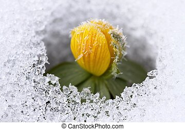 Winter Aconite, lat. Eranthis hyemalis in snow - Beautiful...