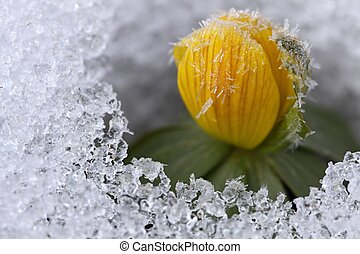 Winter Aconite, lat Eranthis hyemalis with crystals on...
