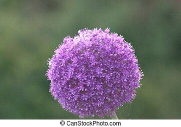 lila Ball - Lila Blüte Kugelrund wie ein Ball.