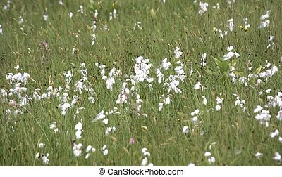 White cotton grass - Cutting of a meadow with cotton grass...