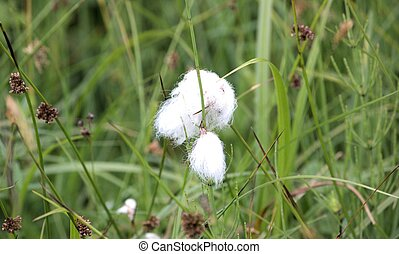 Cotton grass - Gras mit weissem Ballen wie Watte Grass with...