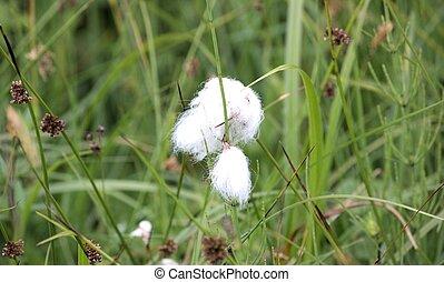 Cotton grass - Gras mit weissem Ballen wie Watte Grass with...
