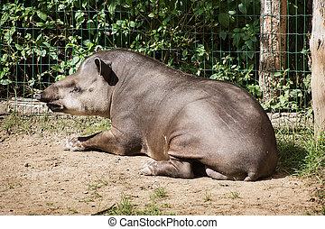 South American tapir Tapirus terrestris resting