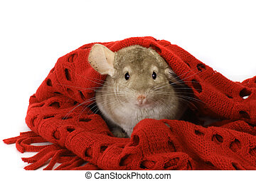 chinchilla in a scarf isolated on a white background
