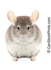chinchilla isolated on a white background