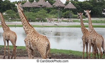 zebras, giraffes and pelicans soaring over the pond in...
