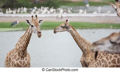 giraffes in the zoo safari park. Changes focus on pelicans....