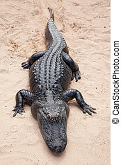 black crocodile on light sand