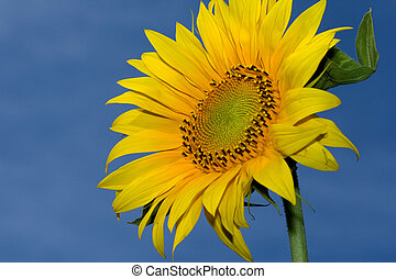 yellow sunflower against a sky background
