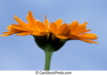 A yellow Gerbera sunflower against blue sky