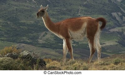 Chilean guanaco. Wildlife of Andes - Guanaco in Torres del...