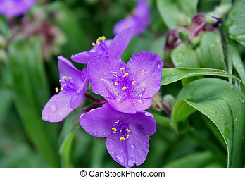 rain drops on the spiderwort flower - rain drops on the...