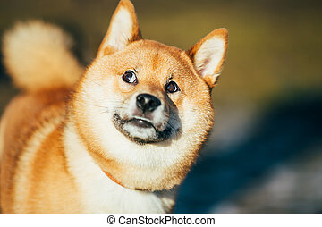 Close Up Beautiful Red Shiba Inu Puppy Dog Staying Outdoor -...