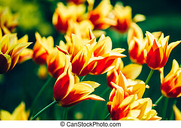 Yellow And Red Flowers Tulip In Spring Garden - Yellow And...