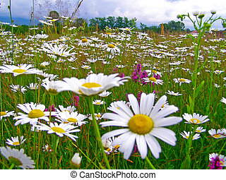 Field of daisy