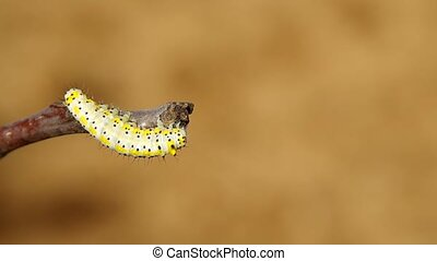 Yellow caterpillar - Caterpillar on a branch of a tree and...