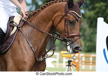 Brown horse portrait during competition in summer