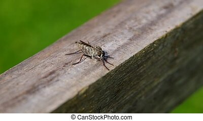 Horseflies on a wooden board - Horseflies -Tabanus on a...