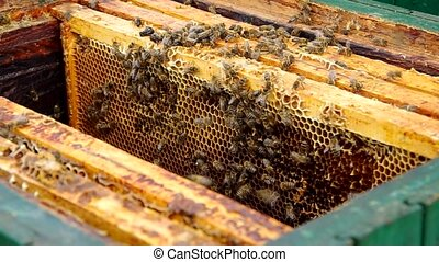 Inserting honeycomb in the beehive - Beekeeper Inserting...