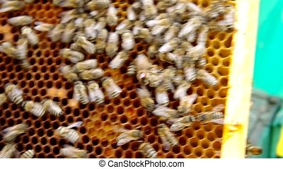 The queen bee on honeycomb is marked red