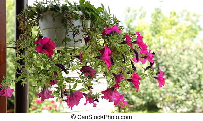 Petunia flowers hang in a flower pot
