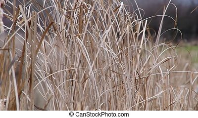 Reeds on the bank of a pond - Reeds on the bank of the pond,...
