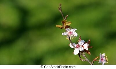 Flowery branch of plum tree on green background in the wind...