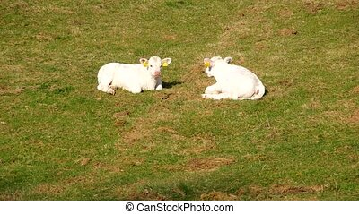Two young calves - Two young white calves are resting on...