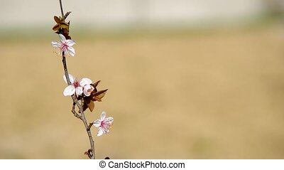 Flowery branch of plum tree on brown background