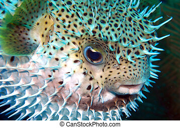 puffed Porcupine fish - A stressed fish is puffing and its...