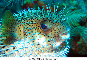 Porcupine fish - A stressed fish is puffing and its spikes...