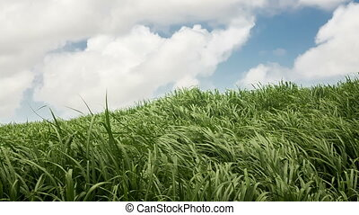 Sugar cane field over sky background