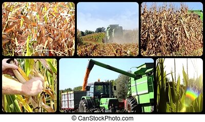 Corn harvest - Harvesting corn collage