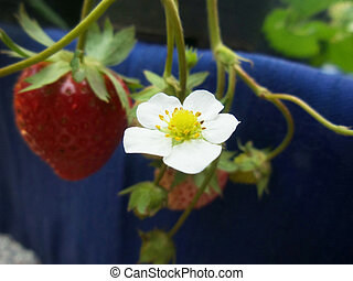 Strawberry with flower