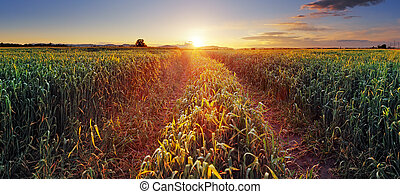Rural countryside with wheat field and sun