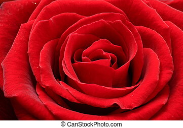 Macro of red rose - Close up of red rose petals for...