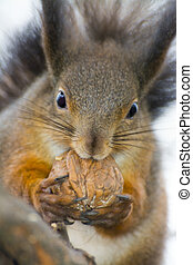 Eurasian red squirrel Sciurus vulgaris is eating a walnut