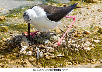 Sea bird and eggs on beach - Black and white sea bird on...
