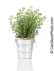 tomilho, erva, planta, crescendo, em, Um, afligido, pewter,...